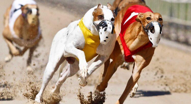 Casinoper Köpek Yarışlarında Kazanmanın Yolları